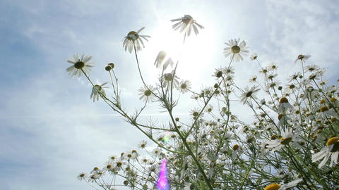 Chamomile Flowers Footage