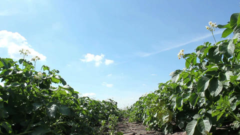 Potato Plants Stock Video Footage