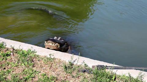 Crocodile Stock Video Footage