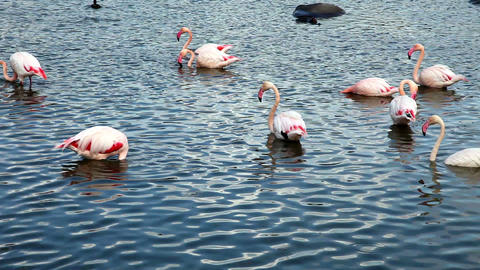 Flamingo Stock Video Footage