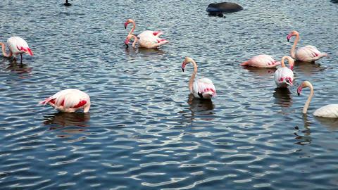 Flamingo Stock Video Footage