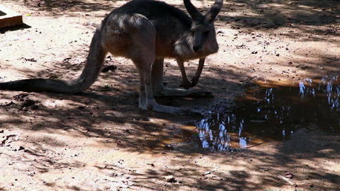 Кangaroo Stock Video Footage