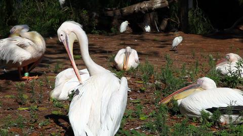 Pelicans Stock Video Footage