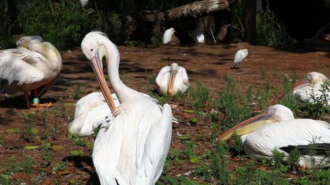 Pelicans Footage