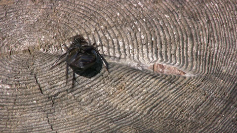 Beetle on the stump Stock Video Footage