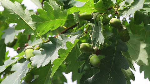 green acorns Footage
