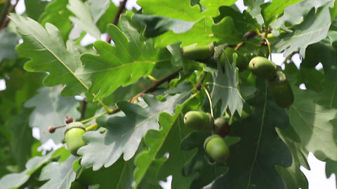 green acorns Stock Video Footage