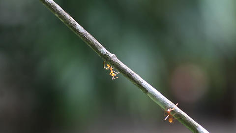 worker ants walk along a branch Footage