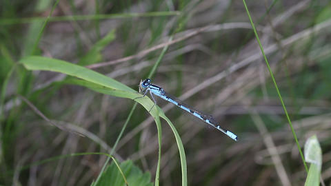 Damselfly 3133 Stock Video Footage