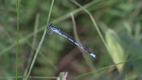 Blue Damselfly close-up Stock Video Footage
