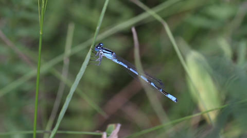Blue Damselfly close-up Footage