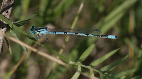 Common Blue Damselfly Stock Video Footage