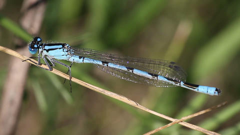 blue dragonfly close-up Footage