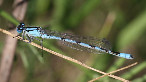 blue dragonfly close-up Stock Video Footage