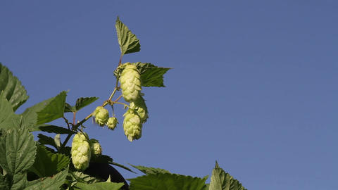 Common Hop Stock Video Footage