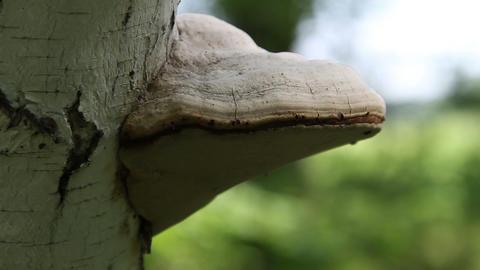 Tinder Fungus Fomes fomentarius Stock Video Footage