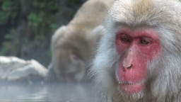 Beautiful face of 'snow monkey' and drinking monke Stock Video Footage