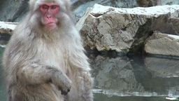 Relaxed monkey eating along hot water onsen in Jap Footage