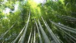 Beautiful bamboo trees in Japan Stock Video Footage