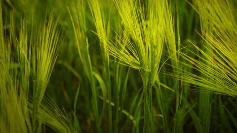 Summer spikelets Stock Video Footage