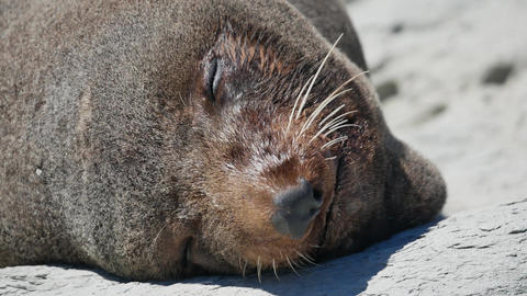 Close up the head of fur seal when sleep on rock at Kaikoura Beach, South Island Live Action