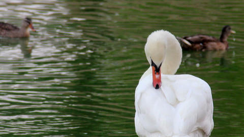 preening swans at the pond Footage