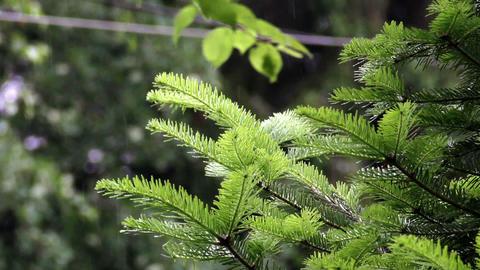 fir branch in the rain Footage