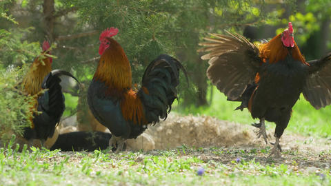 Slow motion Roosters on the background of a sunny lawn. Bright plumage concept rural scene Live Action