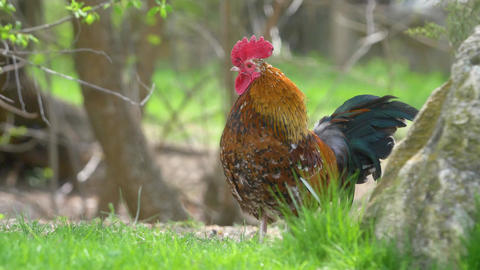 mottled bright rooster against the backdrop of wildlife Live Action