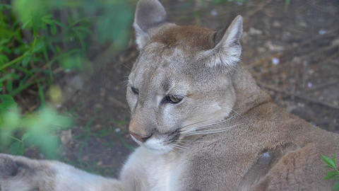 cougar resting lying in the shade of a bush Live Action