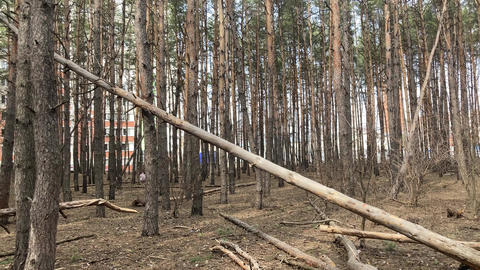 Close up of fallen tree in forest. Concept of danger to human life and health Live Action