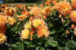 Dahlia bloom フォト