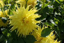 Dahlia bloom 相片