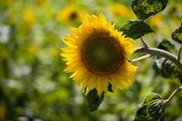 open sunflowers 相片
