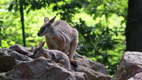 Yellow footed rock wallaby with a cub sitting on a rock Live Action