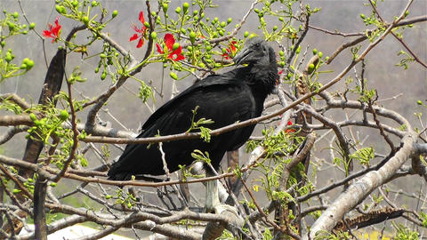 Black Vultures in Oaxaca Mexico 2 Footage