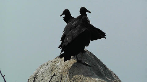 Black Vultures in Oaxaca Mexico 2 Stock Video Footage