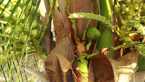 Coconut Tree 1 early Stock Video Footage