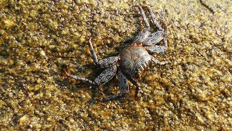 Crab in Rocky Ocean Shore 3 Stock Video Footage