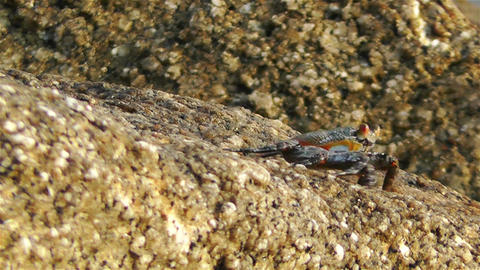 Crab in Rocky Ocean Shore 5 Stock Video Footage