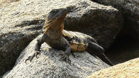 Iguana in Mexico 1 Stock Video Footage