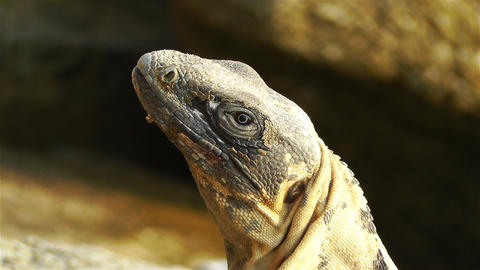 Iguana in Mexico 3 Stock Video Footage