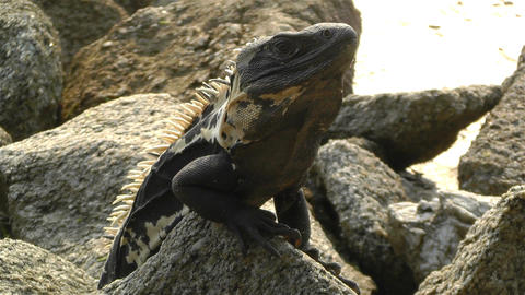 Iguana in Mexico 5 Stock Video Footage
