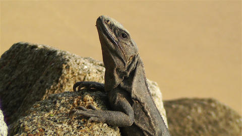 Iguana in Mexico 7 Stock Video Footage