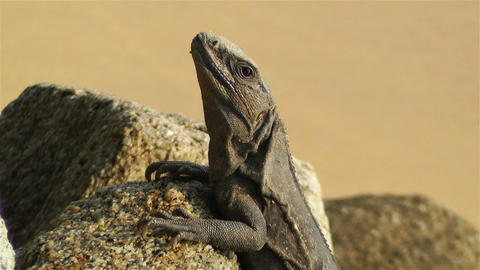 Iguana in Mexico 7 Footage