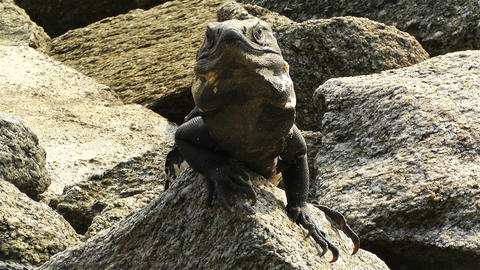 Iguana in Mexico 9 Stock Video Footage
