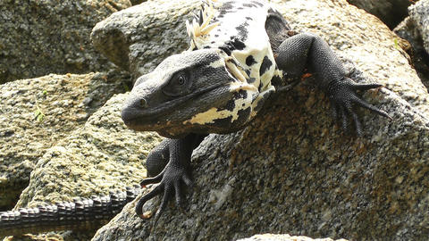 Iguana in Mexico 11 Stock Video Footage