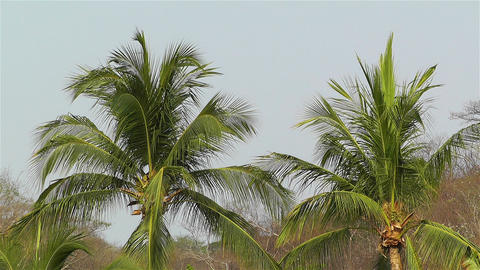 Palm Trees 1 Stock Video Footage