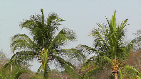 Palm Trees 1 Footage