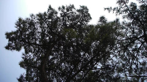 pine branch background Stock Video Footage